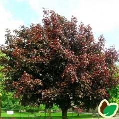 Acer platanoides Royal Red - Rødbladet Spidsløn / Træ 150-175 cm.