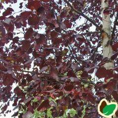 Betula pubescens Rubra - Rødbladet Dunbirk / 125-150 cm.