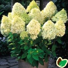 Hydrangea paniculata Limelight - Træagtig Hortensia - 90 cm. stamme