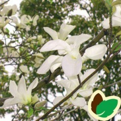 Magnolia kobus - Træmagnolia / 175-200 cm.