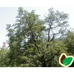 Phellodendron amurense - Korktræ / 200-250 cm.