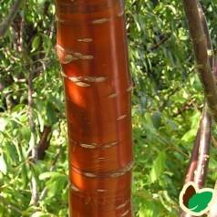 Prunus serrula - Tibetansk kirsebær / 175-200 cm.