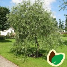 Pyrus salicifolia Pendula - Prydpære - Pilebladet Pære / 120 cm. stamme.