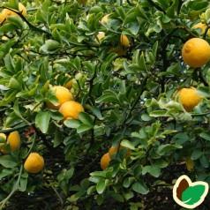 Poncirus trifoliata - Vild Citron