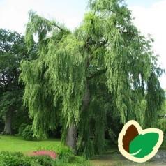 Salix alba Tristis - Guld Hængepil / 200-250 cm.