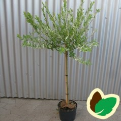 Salix integra Hakuro Nishiki - Broget japansk pil / 60 cm. stamme.