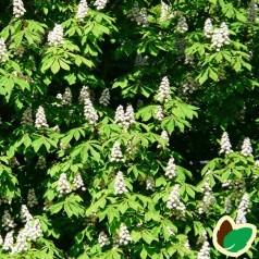 Hestekastanje 40-60 cm. - bundt med 10 stk. barrodsplanter - Aesculus hippocastanum _hippocastanum _