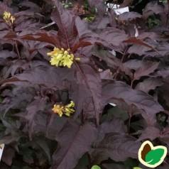 Rødbladet Diervilla