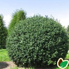 Storbladet Buksbom - 15-25 Cm. - 10 Stk. Barrodsplanter - Buxus sempervirens Rotundifolia ¤