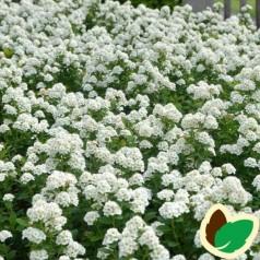Birkebladet Spiræa Aemiliana 30-50 cm. - Bundt med 10 stk. barrodsplanter - Spiraea betulifolia Aemiliana _