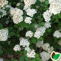 Birkebladet Spiræa Tor 30-50 cm. - 10 stk. barrodsplanter - Spiraea betulifolia Tor _