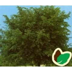 Småbladet Lind 60-100 cm. - Bundt med 10 stk. barrodsplanter - Tilia cordata _