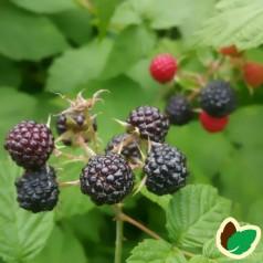 Sorte Hindbær 'Black Jewel'