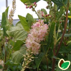 Clethra alnifolia Pink Spire / Konvalbusk