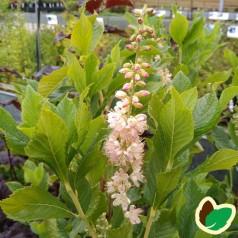 Clethra alnifolia Ruby Spice / Konvalbusk