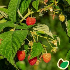 Hindbærbuske Mormorshallon - 10 stk. Barrods ~