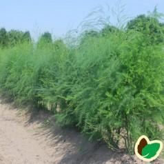 Asparges plante 'Guelph'