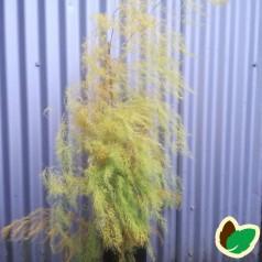 Asparges plante 'Gijnlim'