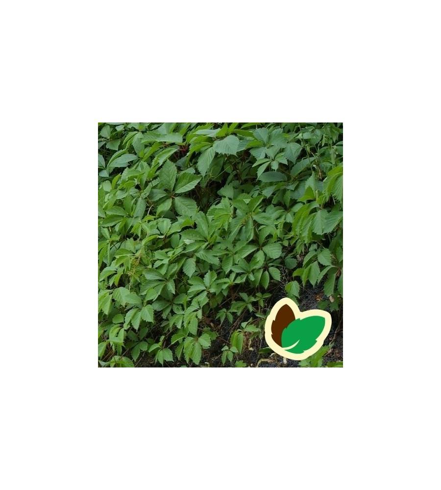 Parthenocissus quinquefolia Engelmannii / Vildvin