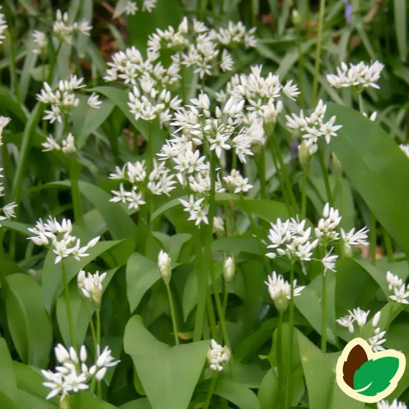 Ramsløg - Allium ursinum