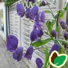 Aconitum henryi Sparks Variety / Stormhat
