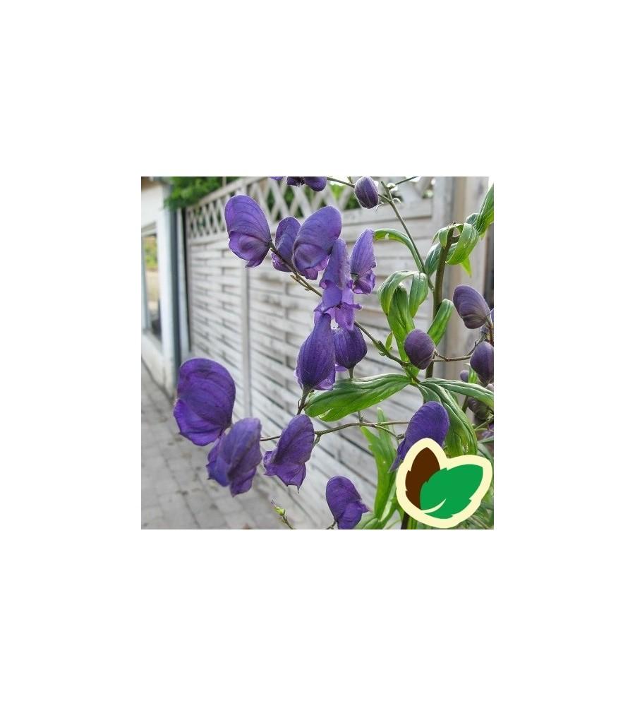 Aconitum henryi Sparks Variety - Stormhat