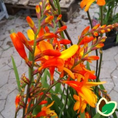 Crocosmia hybrid Orange Pekoe / Montbretia