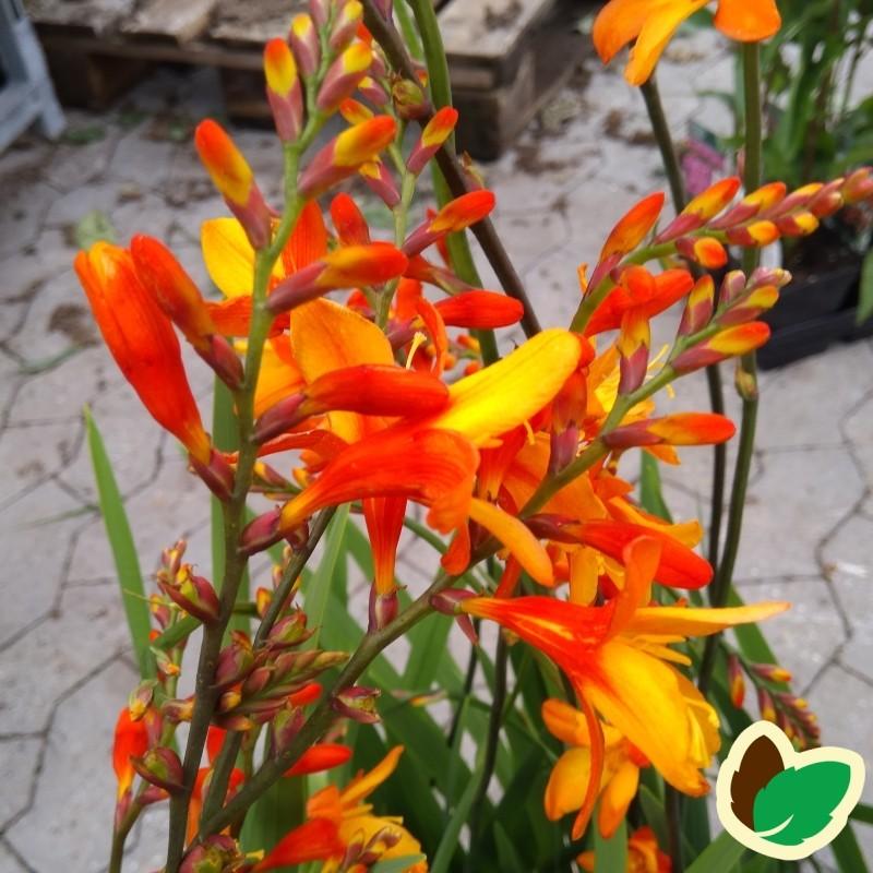Crocosmia hybrid Orange Pekoe / Montbretia