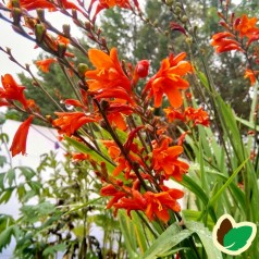 Crocosmia hybrid Red King / Montbretia