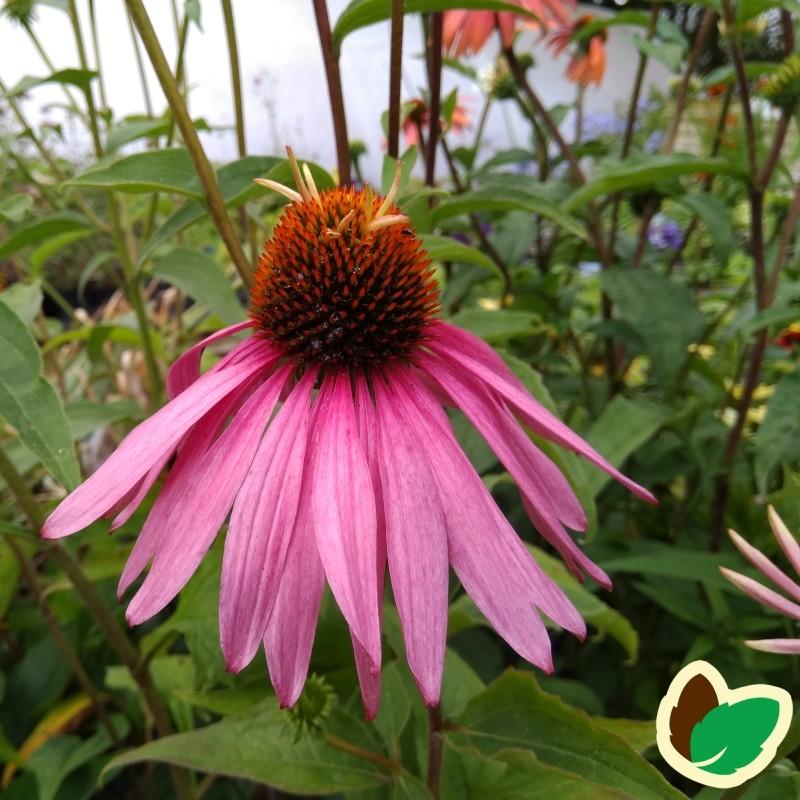 Echinacea purpurea Doubledecker / Solhat