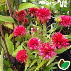 Echinacea purpurea Piccolino / Solhat