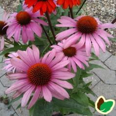 Echinacea purpurea Prairie Splendor / Purpursolhat