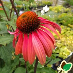 Echinacea purpurea Summer Cocktail / Solhat