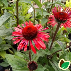 Echinacea purpurea SunSeekers Red - Purpursolhat