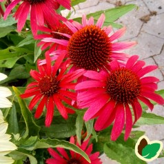 Echinacea purpurea SunSeekers Red - Purpursolhat