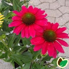 Echinacea purpurea SunSeekers Margenta - Purpursolhat