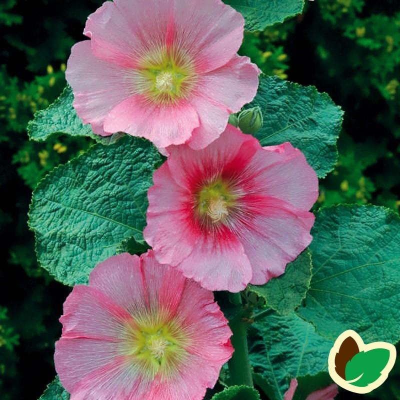 Alcea rosea Radiant Rose / Stokrose