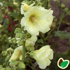 Alcea rosea Sunshine / Stokrose