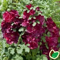 Alcea rosea 'Spring Cel. Crimson'® / Stokrose