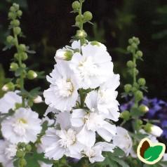 Alcea rosea 'Spring Cel. White'® / Stokrose