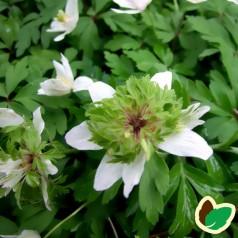 Anemone nemorosa Green finger - Skovanemone