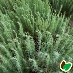 Artemisia Filifolia / Bynke