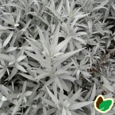 Artemisia ludoviciana Valerie Finnis / Bynke