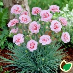 Dianthus plumarius Doris / Fjernellike