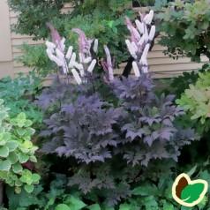 Actaea simplex Chocoholic® / Sølvlys (Cimicifuga ramosa Chocoholic)