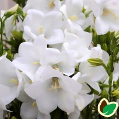 Campanula persicifolia Takion White® / Smalbladet klokkeblomst