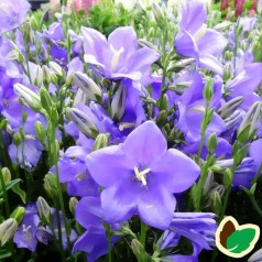 Campanula persicifolia Takion Blue® / Smalbladet klokkeblomst