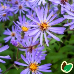 Aster macrophyllus Twilight / Asters