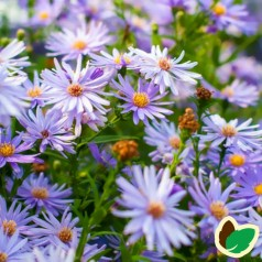 Aster cordifolius 'Little Carlow' / Hjertebladet Asters