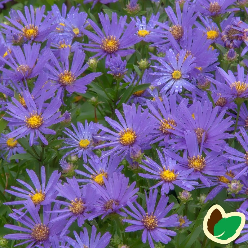 Aster amellus Rudolph Goethe / Amellusasters